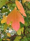 Sassafras leaf Stock Images