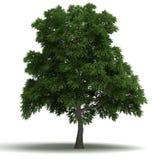Sassafras Tree Stock Photo