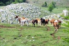 Sassano hästar Royaltyfri Bild