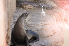 Sassy Sea Lion Stock Photography