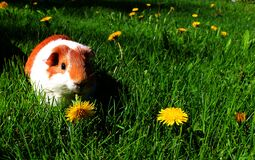 Sasu the Guinea Pig Stock Images