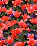 Satén del coral del tulipán de Greigii Imagenes de archivo