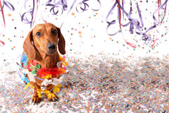 Sat dachshund at Carnival party. Head up Royalty Free Stock Images