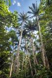 Satakentia liukiuensis trees Stock Photos