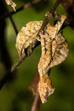 Satanic Leaf-tailed Gecko. A Satanic Leaf-tailed Gecko hangs upside down from a branch.  Ranomafana National Park, Madagascar Stock Photo