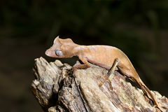 Satanic leaf-tailed gecko, marozevo Royaltyfri Fotografi