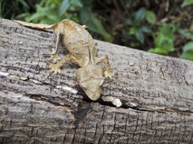 Satanic Leaf-tailed Gecko (Uroplatus phantasticus) in Ranomafana Stock Images