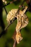 Satanischer Blatt-angebundener Gecko stockfoto
