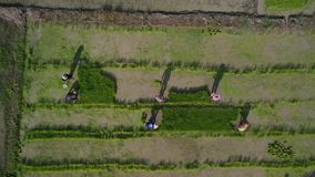 Satellietbeeld de Aziatische Landbouwers die rijst op padiegebied kweken in Azië stock footage