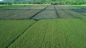 Satellietbeeld van groene rechthoekenpadievelden op zonnige dag Tropische landschapspadievelden, bergen, palmen farming stock footage