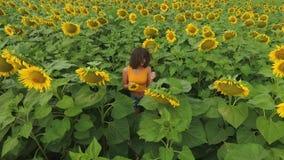 Satellietbeeld van groot zonnebloemgebied en jong aantrekkelijk krullend meisje die zich tussen rijen van de installaties bevinde stock video