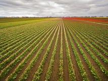 Satellietbeeld van Kleurrijke Tulip Fields van Skagit-Vallei, Washington royalty-vrije stock afbeeldingen