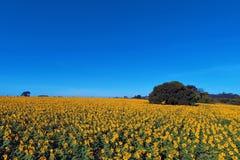 Satellietbeeld van zonnebloemaanplanting met blauwe hemel, platteland en landelijke scène stock foto
