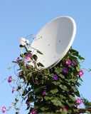 Satellite antenna with flowers. A satellite antenna covered with a flowering vine Royalty Free Stock Photo