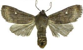Satellite Moth on white Background Stock Images