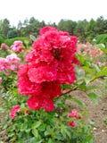 Saten Rose Royalty Free Stock Photography