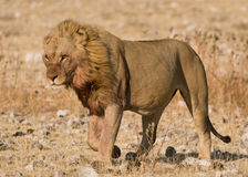Satiated male lion walking into the wind. Large (120-225kg) carnivorous cat; elegant and powerful built; long tail; formerly widespread in savanna regions of Royalty Free Stock Images