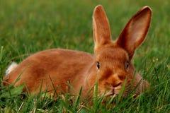 Satijnkonijn die in het gras liggen Stock Afbeelding