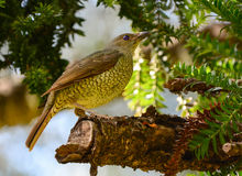 Satin bower bird female. A female satin bower bird in an Australian rainforest at sunrise Stock Image