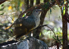 Satin bower bird female Royalty Free Stock Image