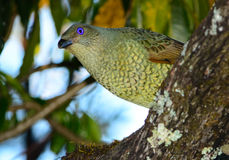 Satin bower bird female. A female satin bower bird in Queensland, Australia Stock Images