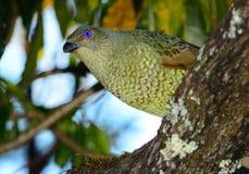 Satin bower bird female Stock Images