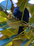 Satin bower bird male. A male satin bower bird eating a wild fig in Queensland, Australia Stock Photo