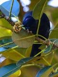 Satin bower bird male Stock Photo