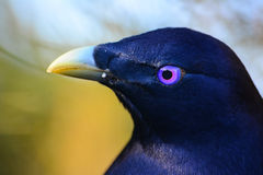 Satin bower bird male. A male satin bower bird in Queensland, Australia Royalty Free Stock Photography