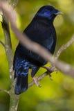 Satin Bowerbird auf Regenwaldstange Stockbilder