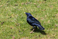 Satin Bowerbird. Feeding on the ground on a clearing on a rainforest Stock Photography