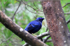 Satin bowerbird Royalty Free Stock Image