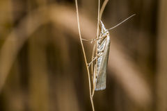 Satin grass veneer (Crambus perlella) Stock Photo