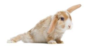 Satin-Mini Lop-Kaninchen in der lustigen Position, lokalisiert Lizenzfreie Stockfotos