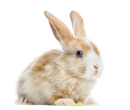 Satin Mini Lop rabbit ear up, lying, isolated Royalty Free Stock Photos