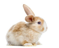 Satin Mini Lop rabbit ear up, lying, isolated Stock Photography