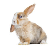 Satin Mini Lop rabbit ear up, sitting isolated. On white Royalty Free Stock Photo