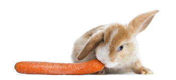 Satin Mini Lop rabbit eating a carrot, isolated Royalty Free Stock Photography