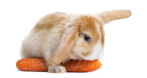Satin Mini Lop rabbit eating a carrot, lying on it, isolated Royalty Free Stock Photo