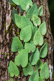 Satin pothos on tree Royalty Free Stock Images