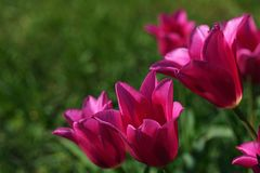 Satin-rose to pink coloured tulip flowers of Mariette kind, also called Lily-flowered tulip. Sunbathing in afternoon sunshine., green lawn background stock photo