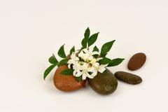 Satinwood Andaman, китайское дерево коробки, косметическое дерево расшивы, оранжевый жасмин, оранжевое jessamine, древесина сатин стоковые фотографии rf