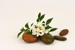 Satinwood Andaman, китайское дерево коробки, косметическое дерево расшивы, оранжевый жасмин, оранжевое jessamine, древесина сатин стоковое фото rf