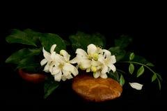 Satinwood Andaman, китайское дерево коробки, косметическое дерево расшивы, оранжевый жасмин, оранжевое jessamine, древесина сатин стоковая фотография