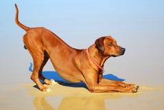 Satisfação do cão imagens de stock royalty free