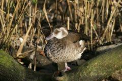 Satisfaction. Duck sleeping on one leg Stock Images
