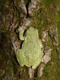 Satisfait Treefrog gris Image libre de droits