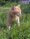 Satisfied cat in high grass Royalty Free Stock Photography