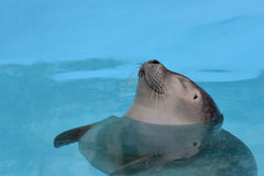 Satisfied, cheerful seal. With closed eyes taking a nap floating in clear, turquoise sea water Royalty Free Stock Photos