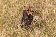 Satisfied cheetah. Masai Mara. Kenya Royalty Free Stock Photo